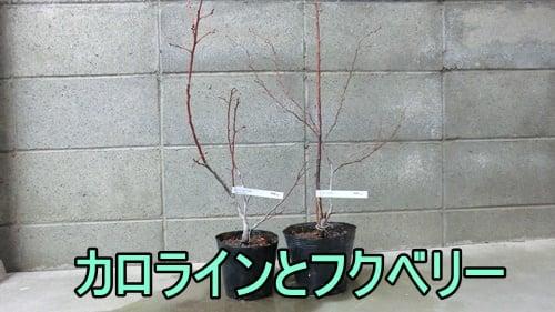 フクベリーとカロラインブルーの苗木を買った