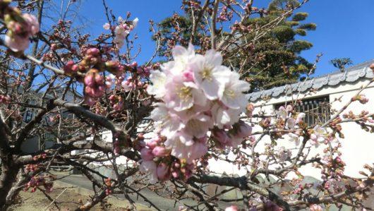 円龍寺の涅槃桜2019年3月8日