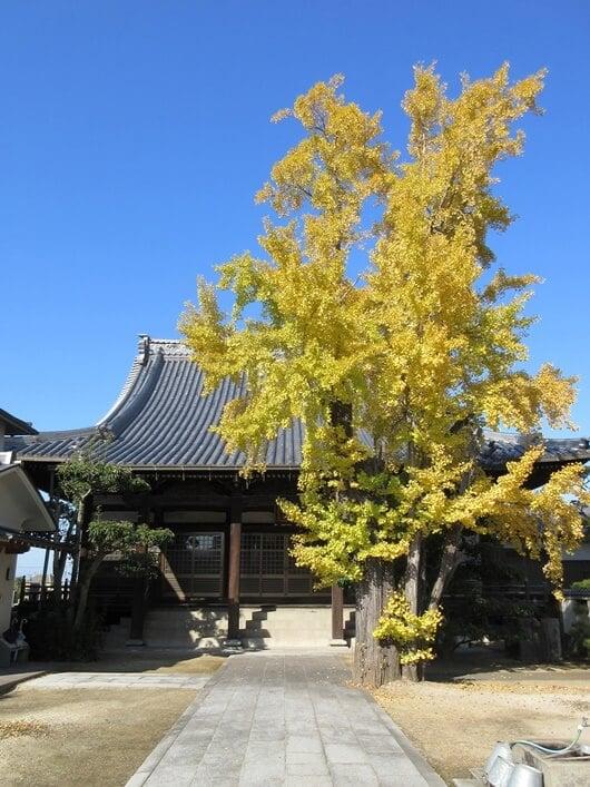 2019年12月の円龍寺の黄色くなったイチョウの木