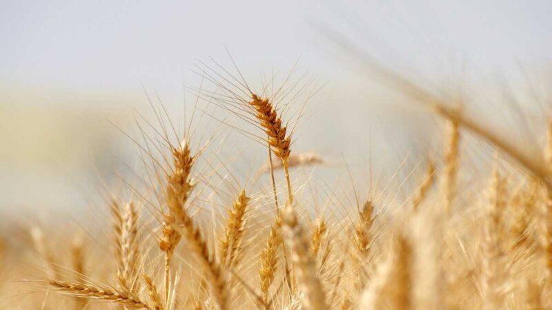 小麦のイメージ画像