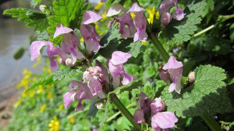 ホトケノザに似た植物。踊子草